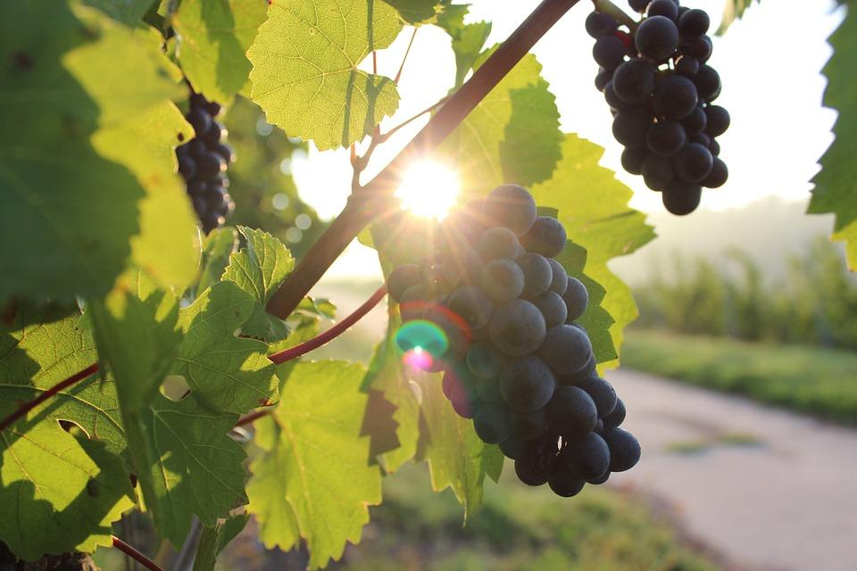 grapes-984493_960_720.jpg